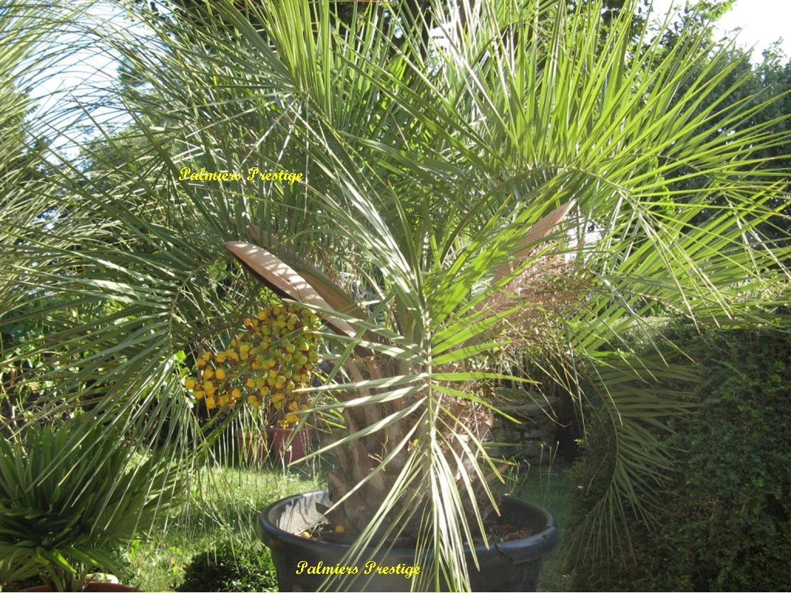 butia archeri palmier tropical rare au port compact pour terrasses ou jardins en vente chez. Black Bedroom Furniture Sets. Home Design Ideas