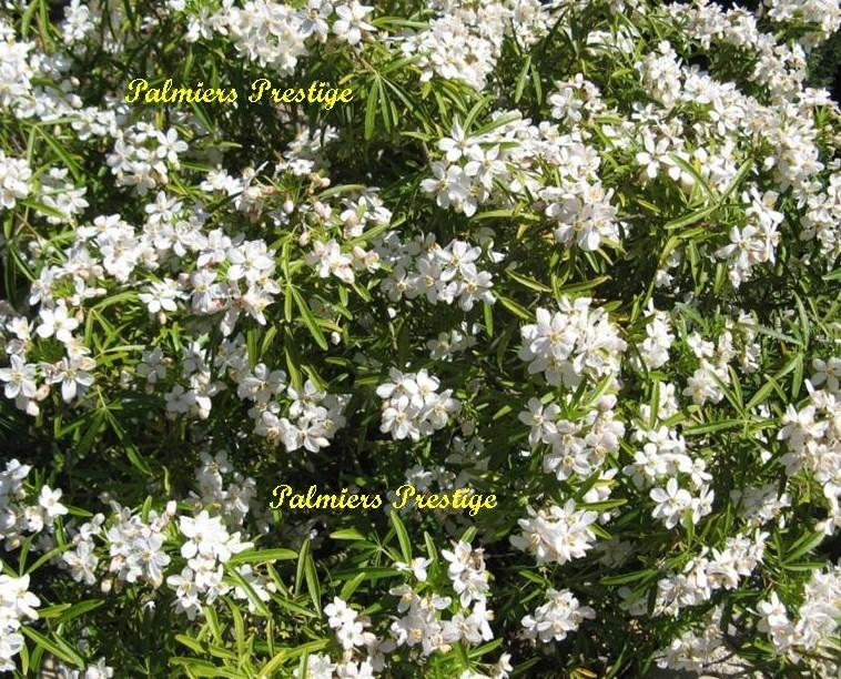 Plantes vivaces et arbustes originaux aux feuillages persistants fleuris pour jardins terrasses - Plante du mexique ...