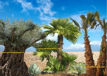 palmiers prestige vente de palmiers et cocotiers d 39 ext rieurs. Black Bedroom Furniture Sets. Home Design Ideas