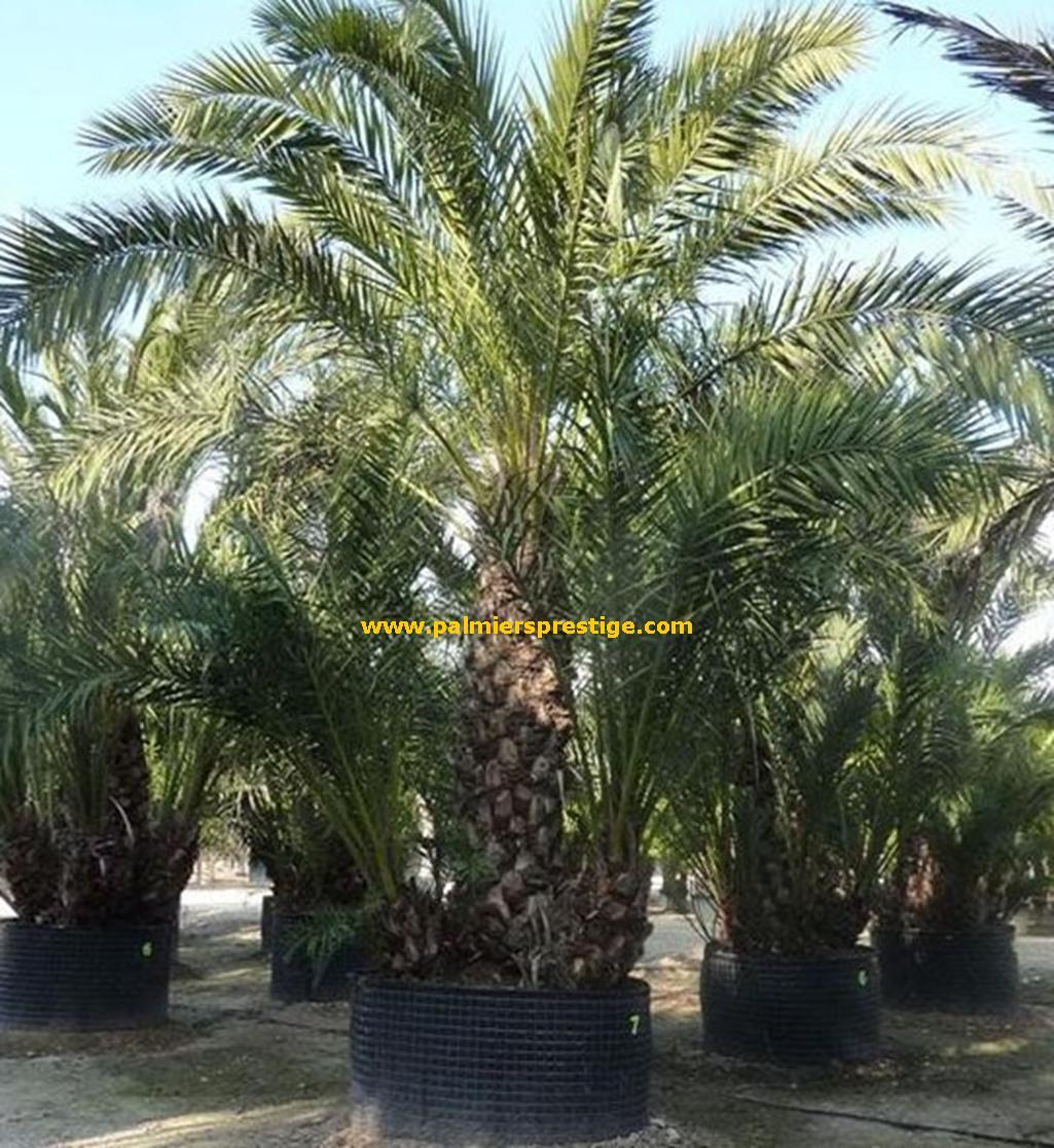 phoenix dactylifera palmier dattier en vente chez palmiers prestige. Black Bedroom Furniture Sets. Home Design Ideas