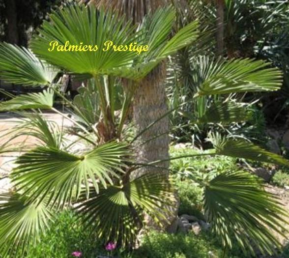trachycarpus wagnerianus vente des plus beaux palmiers d 39 ext rieur. Black Bedroom Furniture Sets. Home Design Ideas