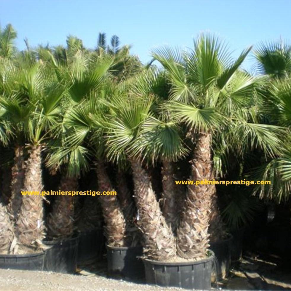 washingtonia robusta palmier mexicain en vente chez palmiers prestige. Black Bedroom Furniture Sets. Home Design Ideas
