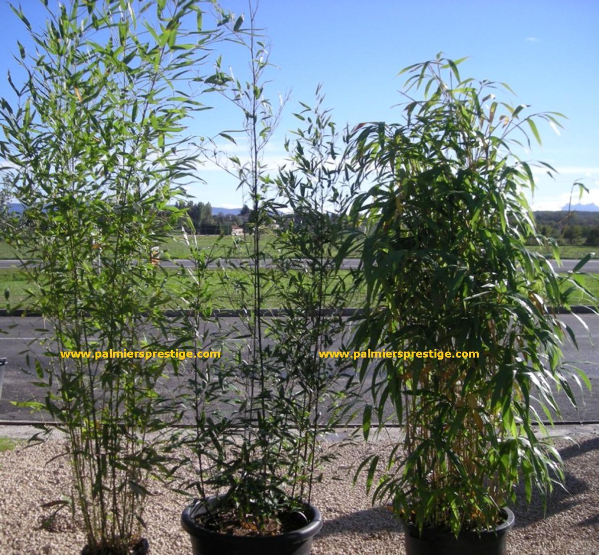 Plantes exotiques pour jardin et terrasse en vente chez for Achat de plantes sur internet