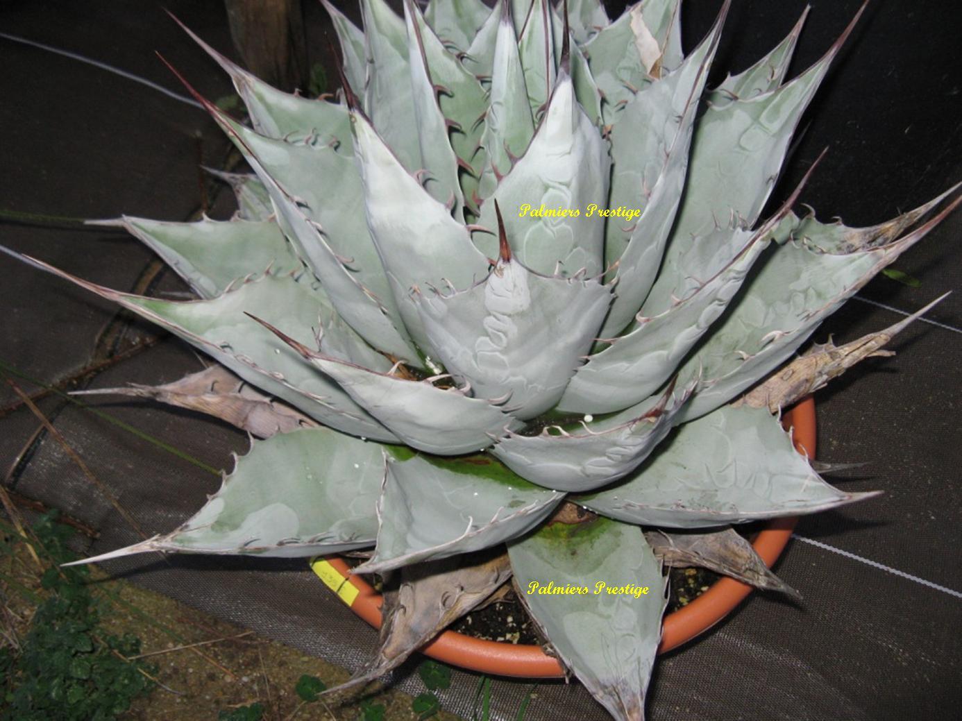 Agave plante for Acheter des plantes par internet