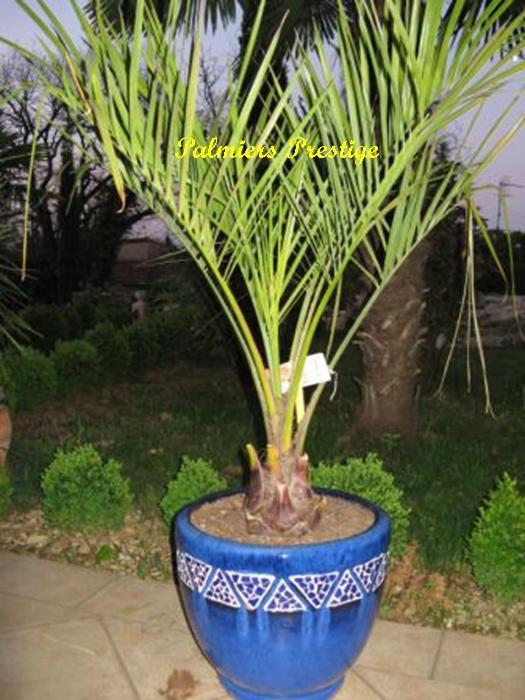 Butia capitata vente des plus beaux palmiers et cocotiers for Quel palmier en pot exterieur
