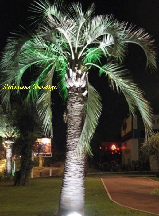 Butia capitata vente des plus beaux palmiers et cocotiers - Palmier cocotier ...