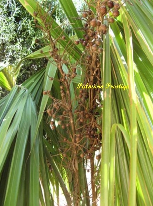 Fructification sabal palmetto