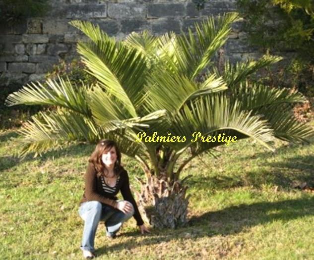Palmiers prestige vente de palmiers et cocotiers d - Palmier cocotier ...