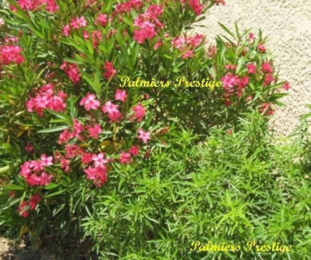 Plantes vivaces et arbustes originaux aux feuillages persistants fleuris pour jardins terrasses - Oranger du mexique en pot ...