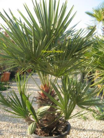 chamaerops humilis vente des plus beaux palmiers d 39 ext rieur. Black Bedroom Furniture Sets. Home Design Ideas