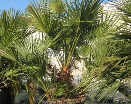 Chamaerops humilis vente des plus beaux palmiers d 39 ext rieur for Palmier nain exterieur