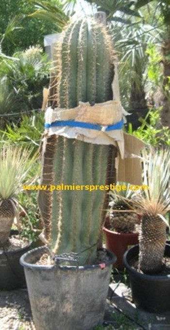 trichocereus pasacana cactus cierge rustique pour jardins exotiques en vente chez le. Black Bedroom Furniture Sets. Home Design Ideas