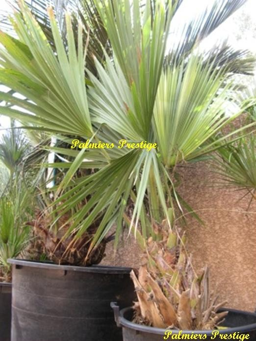 Sabal palmetto de 1.60 m, stipe 0.65 m