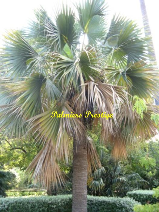 Sabal palmetto adulte