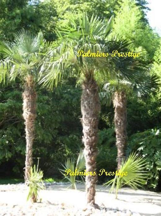 palmier 10 metres