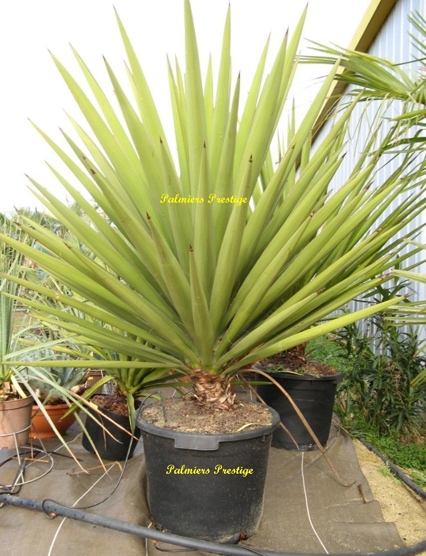 plantes exotiques pour jardin et terrasse en vente chez