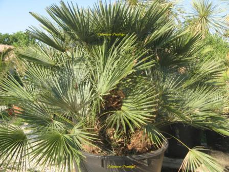 palmier 5 ans