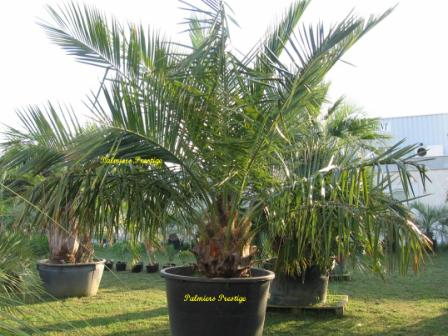 Jubaea chilensis vente