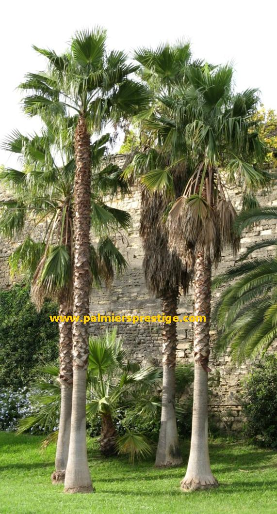 palmier fin
