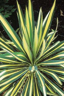 Yucca flaccida golden sword en vente chez palmiers prestige for Yucca elephantipes exterieur